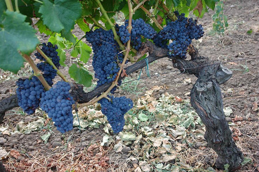 Ceppo vitigno dell'Etna