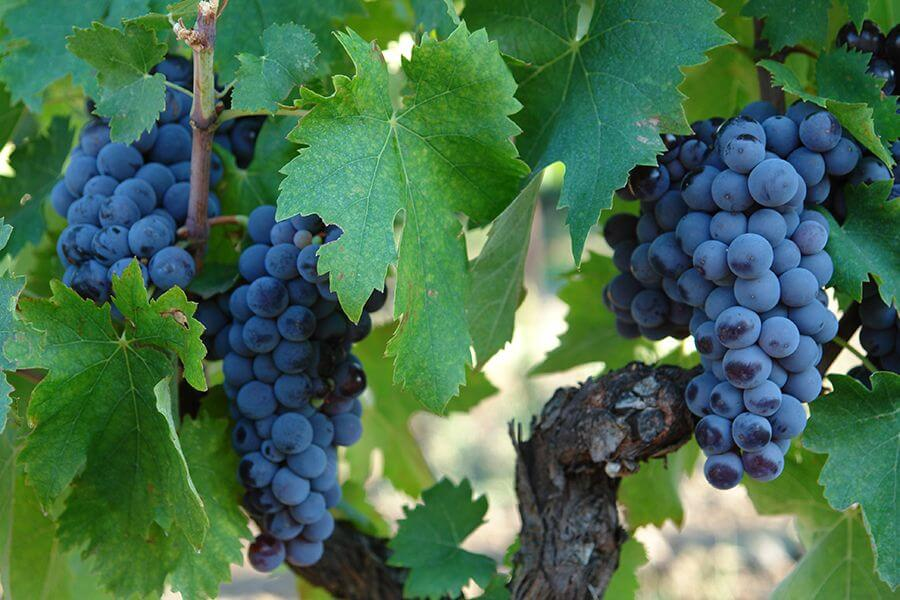 Grappoli uva Nerello Mascalese