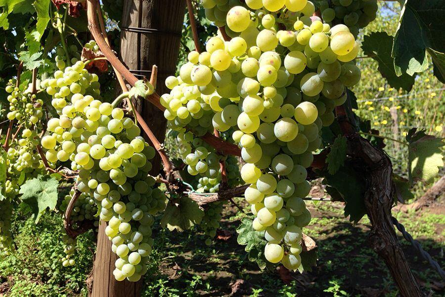 Grappoli uva Albanelllo