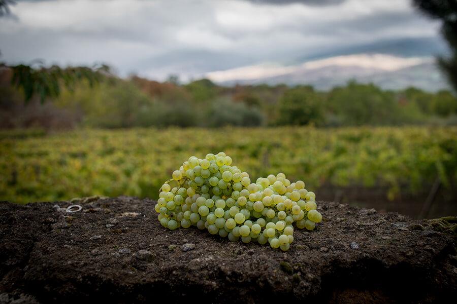 Grecanico Dorato grape bunch